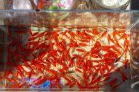 توصیههای خرید ماهی قرمز نوروز