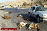 تلف شدن ۲۶ راس گوسفند در برخورد پژو با گله احشام
