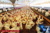 شناسایی ۱۸ کانون آنفلوانزای فوق حاد پرندگان در خراسان جنوبی