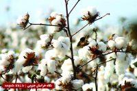 حلاجی مشکلات طلای سفید بشرویه/ صنعت پنبه در سراشیبی