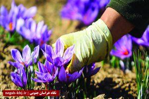 افزایش ۷۵درصدی خرید زعفران از کشاورزان خراسان جنوبی